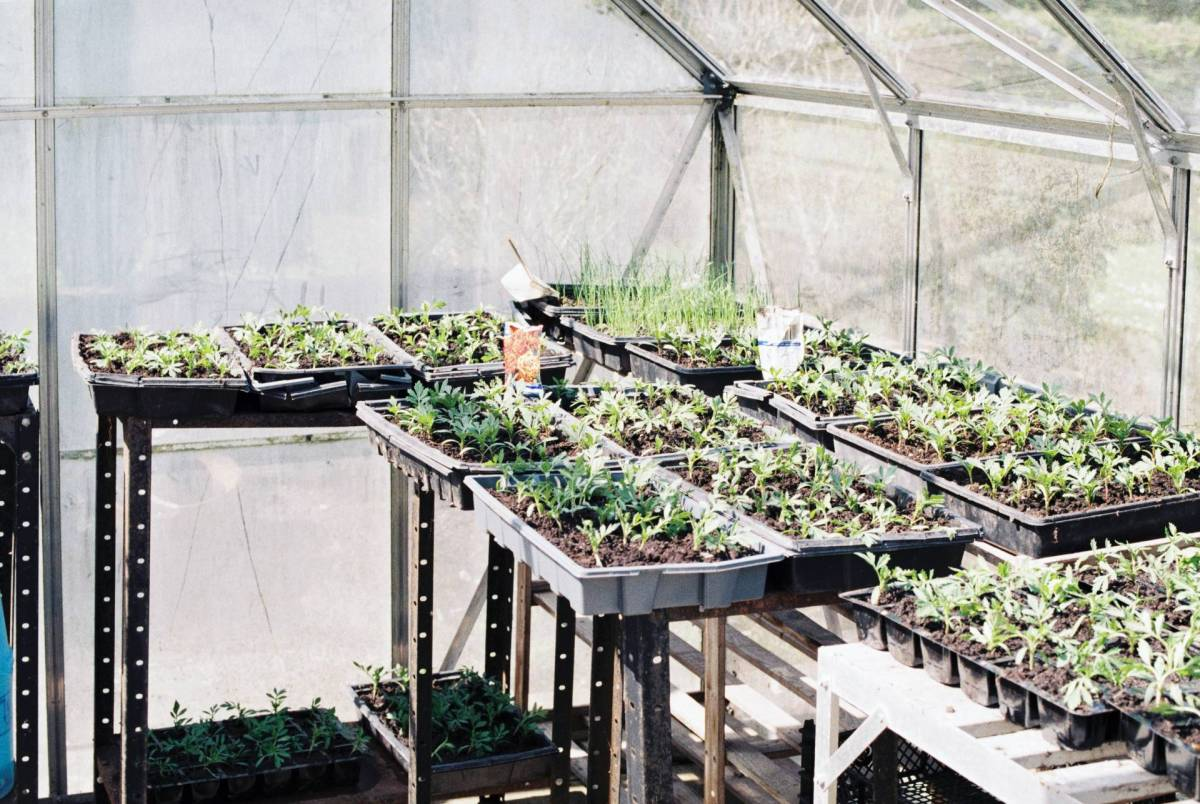 Plants in trays in a greenhouse