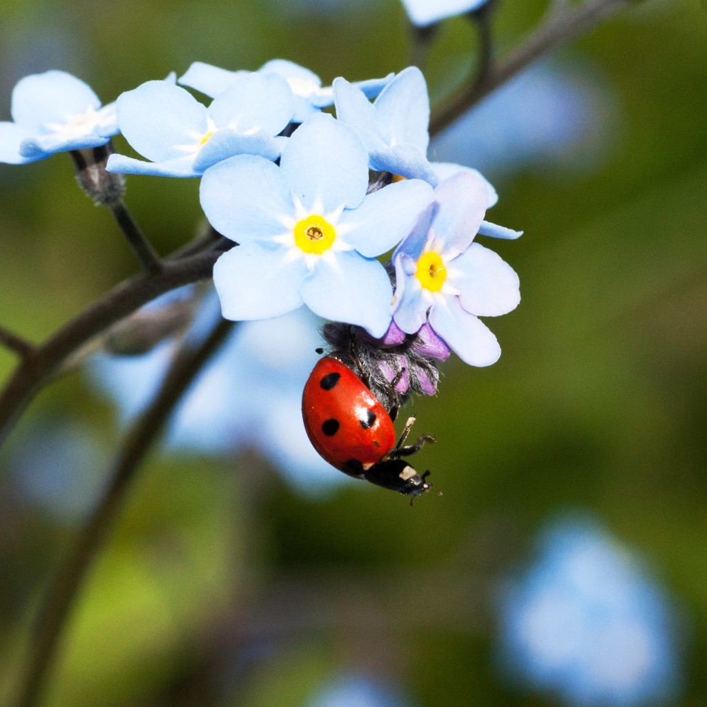 Ladybug hanging from blue flower