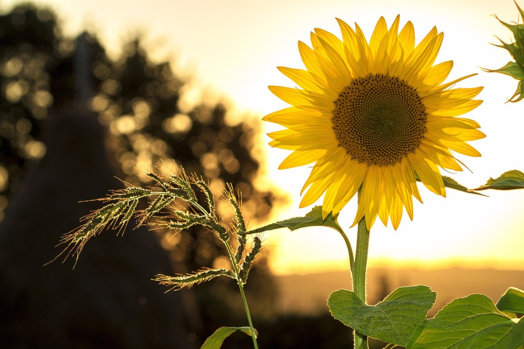 Sunflower backlit by the setting sun
